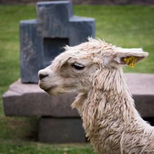 Lama in Ollantaytambo
