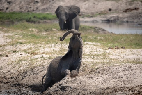 Elephant baby playing in the mud