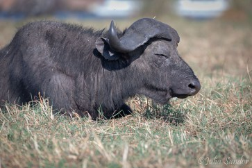 Old buffalo sunbathing - looks so relaxed, but can be extremely aggressive