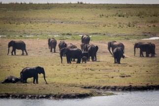 Hundreds of elehants gather on the Sedudu Island to graze.