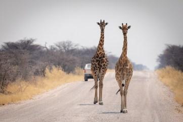 Giraffes walking on the street