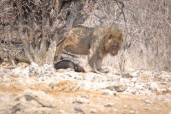 Lion looking after his prey - an oryx he just caught