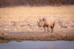 Black rhino approaching the waterhole in the afternoon sun