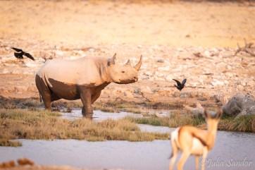 Young rhino after mud bath