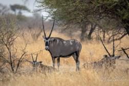 Gemsbock in the Kalahari