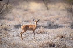 Central Kalahari - Steenbock - Always looking out for predators