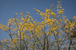 Yellow flowers in the bush - Springtime in Botswana