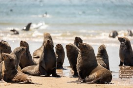 Seal colony at Pelican Point