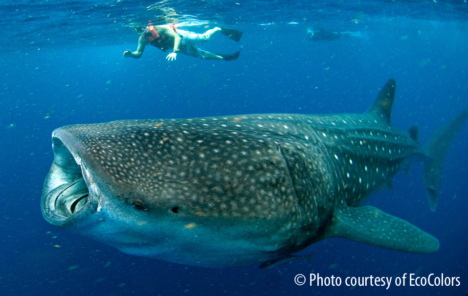 Swimming with Whale Sharks Cancun2