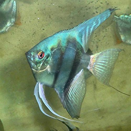 Blue Angel Fish