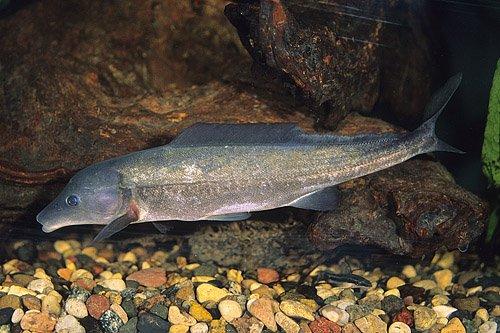 Freshwater Dolphin - Mormyrus Longirostris