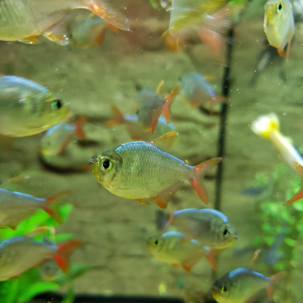 Colombian_red_fin_Tetras