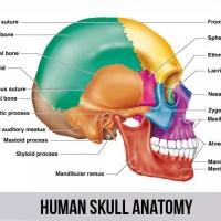 人类头骨解剖