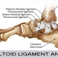 Deltoid Ligament Ankle