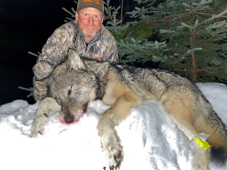Montana considers new rules to curb wolves amid public ire