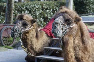 camel time