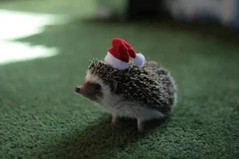 Santa Hedgehog
