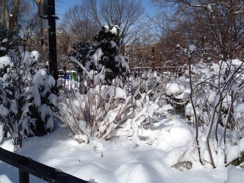 Snow Burdened Bushes