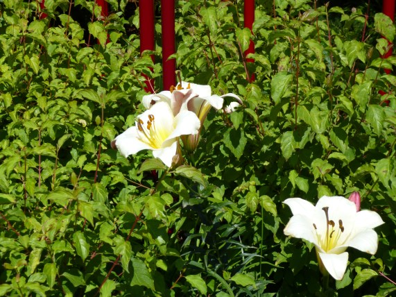 Garden Lillies
