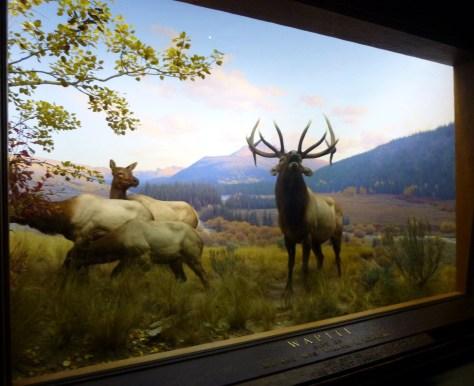 Wapiti Elk