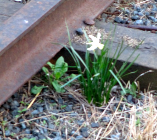 Daffodil on the Tracks