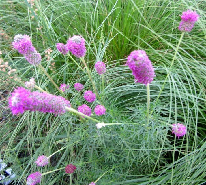 Purple Fluffy Flowers