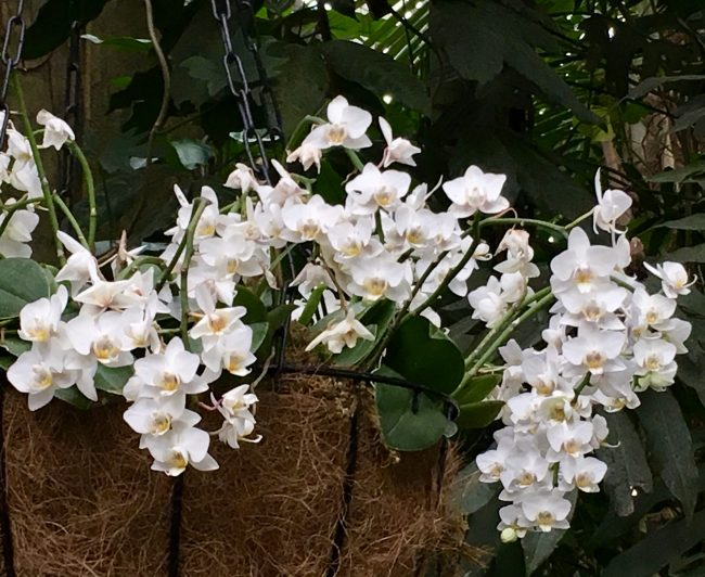Array of White Orchids