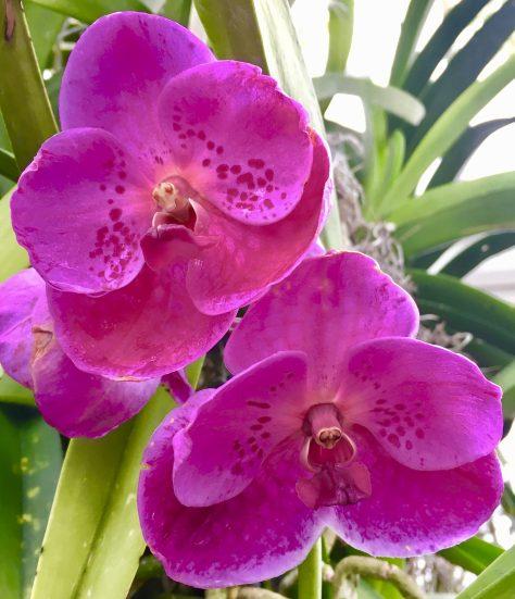Bright Fuchsia Orchids