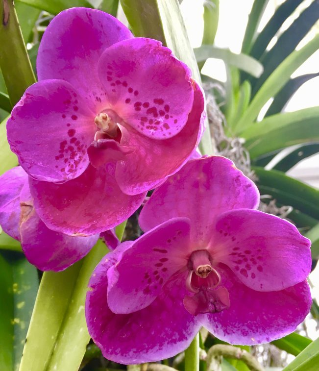 Bright Fuchsia Orchids