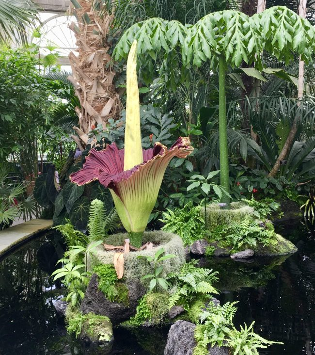 Corpse Flower From Right 2