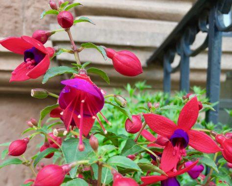 fuchsia in flower box photo by gail worley