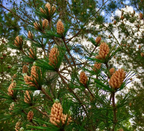 pine cone buds photo by gail worley