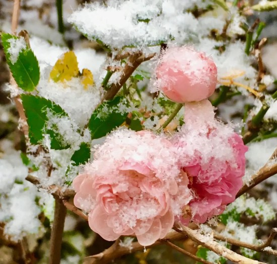 pink rose in the snow photo by gail worley