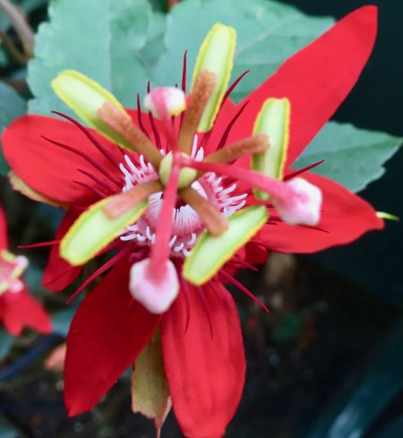 red passion flower photo by gail worley