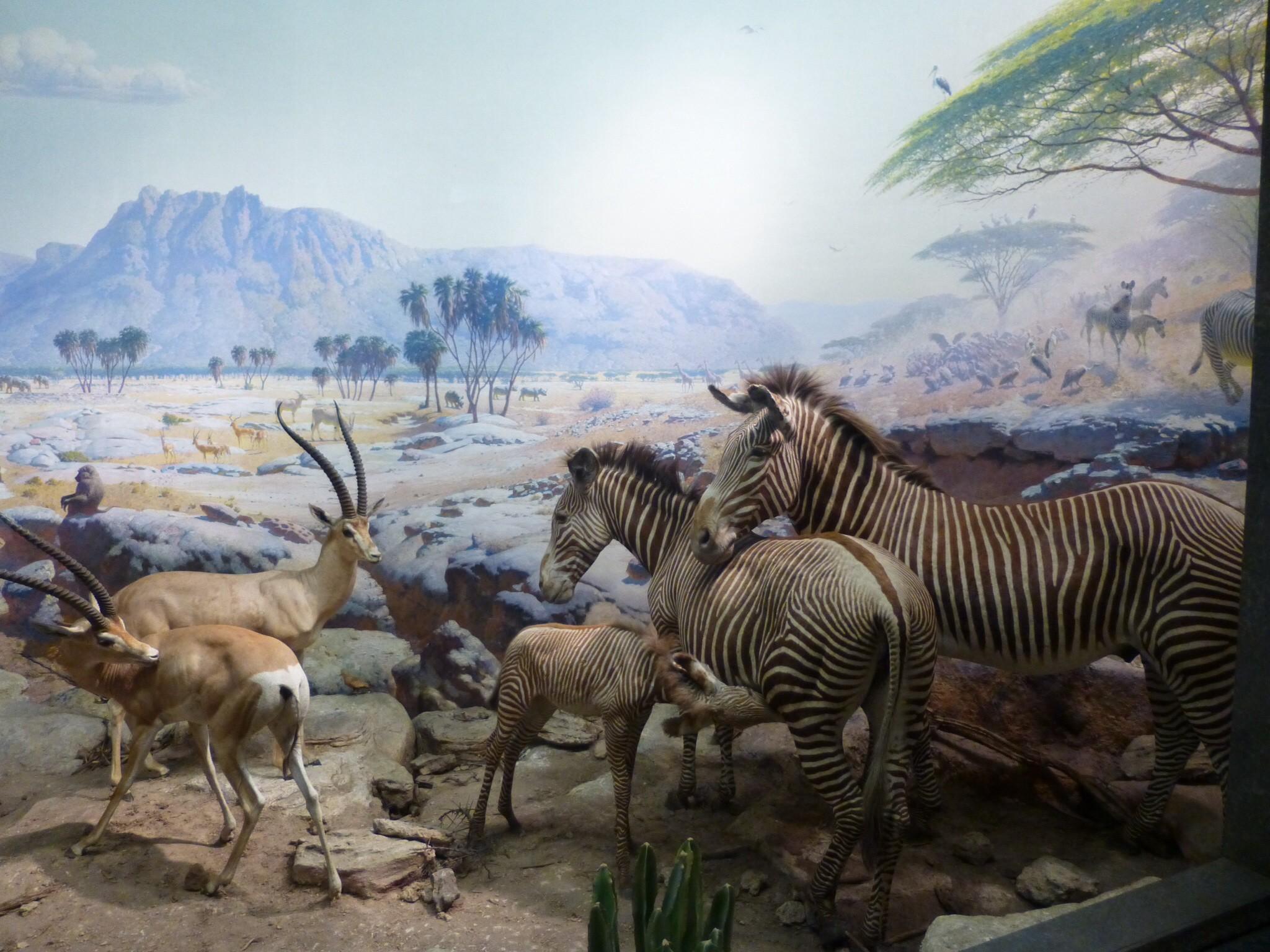 Hall Of Mammals Dioramas Museum Of Natural History