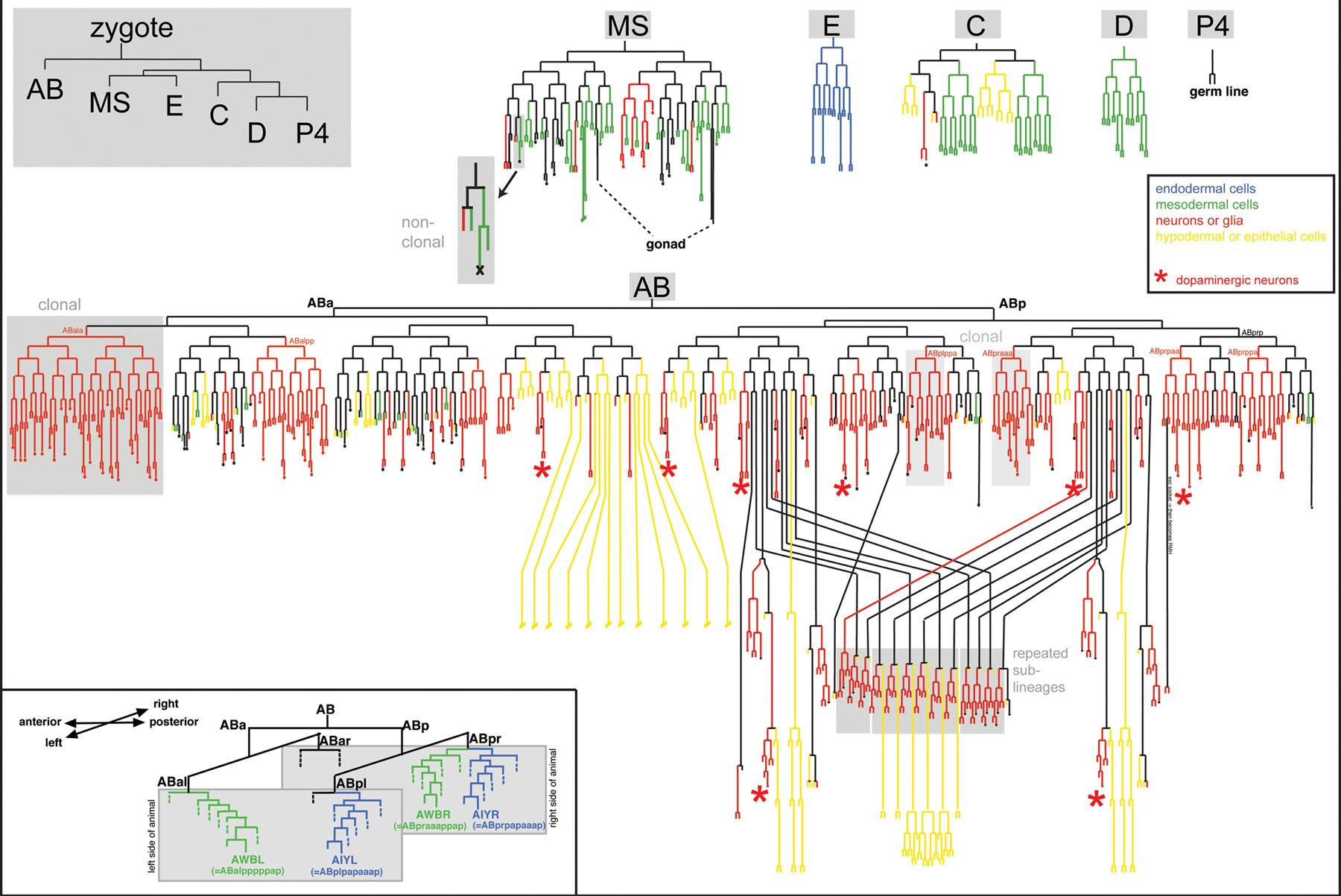 complete neuron cell diagram cadillac wiring diagrams neurogenesis in the nematode caenorhabditis elegans
