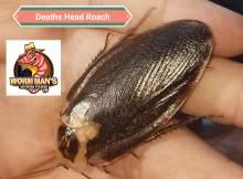Deaths Head Roach