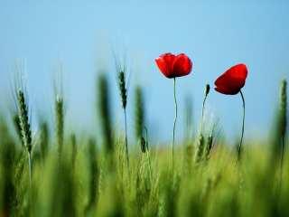 flowers in a wheat field