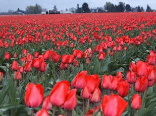 Tulips, Mt Vernon, Washington USA -- Ana Gobledale