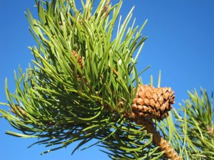 Colorado pine -- Thandiwe Dale-Ferguson