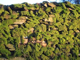 Moss on stonewall in morning light, Orsett Head, Cumbria UK -- photo by Ana Gobledale