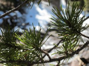 Ponderosa Pine, Estes Park, Colorado USA -- by Ana Gobledale