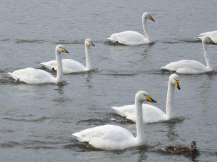 swans, Rejkavik, Iceland -- Ana Gobledale