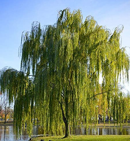 11 Types of Willow Trees to Provide Shade & Enhance Your ...