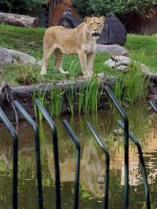 Löwin Kigali auf der Außenanlage