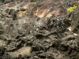 Überall auf den dunklen Felsen - Meerechsen