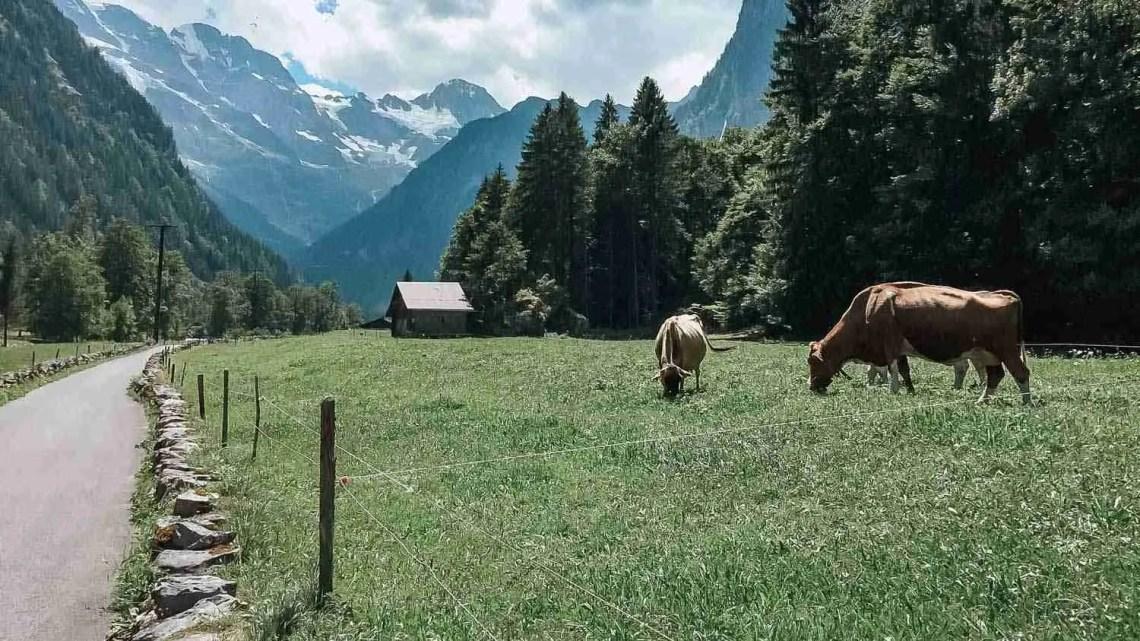 Cows grazing in the Lauterbrunnen Valley