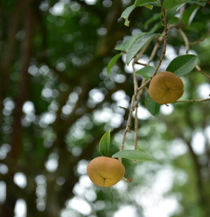 高黎贡山茶油,腾冲特产旅游必带