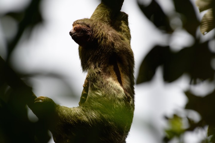 Sloth spotted along the trail