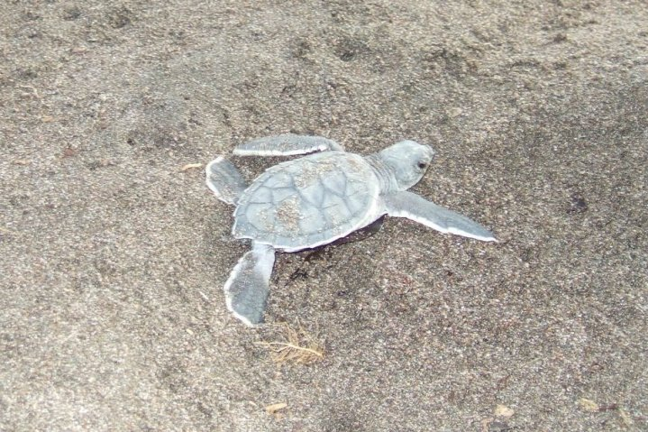 Baby Green Sea Turtle shortly after it hatched